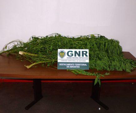 GNR detém indivíduo em Abrantes por cultivo de cannabis