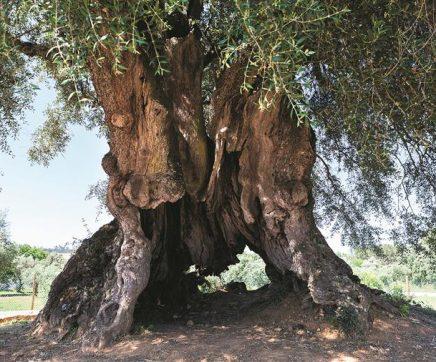 Investigadores dataram oliveira com 3.350 anos em Abrantes como a mais velha de Portugal