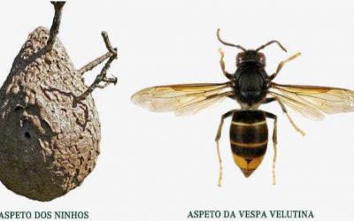 Vila Nova da Barquinha candidata-se a apoio para destruir ninhos de Vespa Asiática