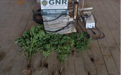 GNR apreende estufa de cannabis a jovem de 23 anos