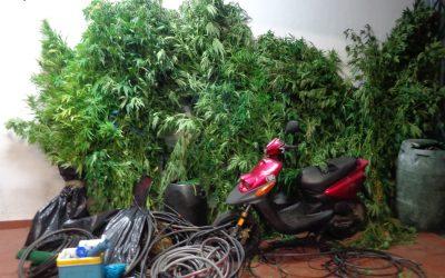 Homem de 47 anos detido por cultivo de cannabis
