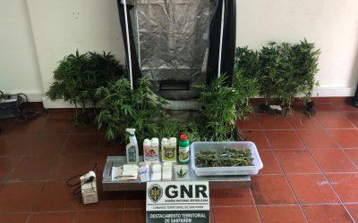 Homem de 25 anos detido por cultivo de estufa de cannabis