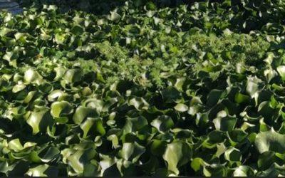 Santarém com candidatura aprovada para combater praga dos jacintos-de-água