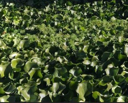 Remoção de praga de jacintos de água no rio Sorraia começa na próxima semana
