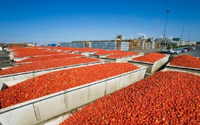 "Sugal diz que campanha do tomate pode ter ""rendimento agrícola recorde"""