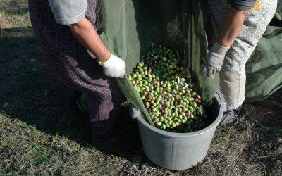 Produtores podem candidatar-se a ajudas à armazenagem de azeite a partir de hoje