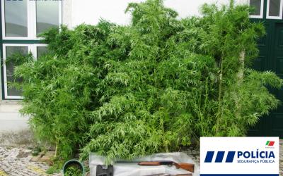 Detido em Santarém com cinco plantas de cannabis e várias armas