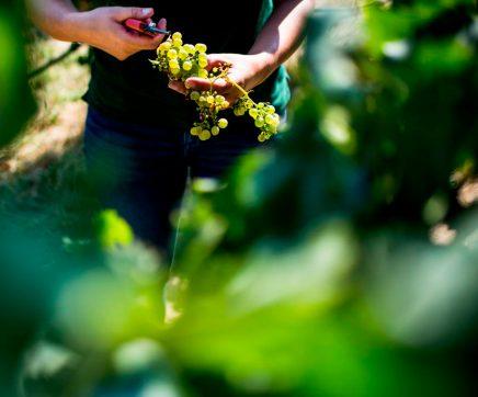 Ministra da Agricultura anuncia apoio de 15 milhões de euros para o sector dos vinhos