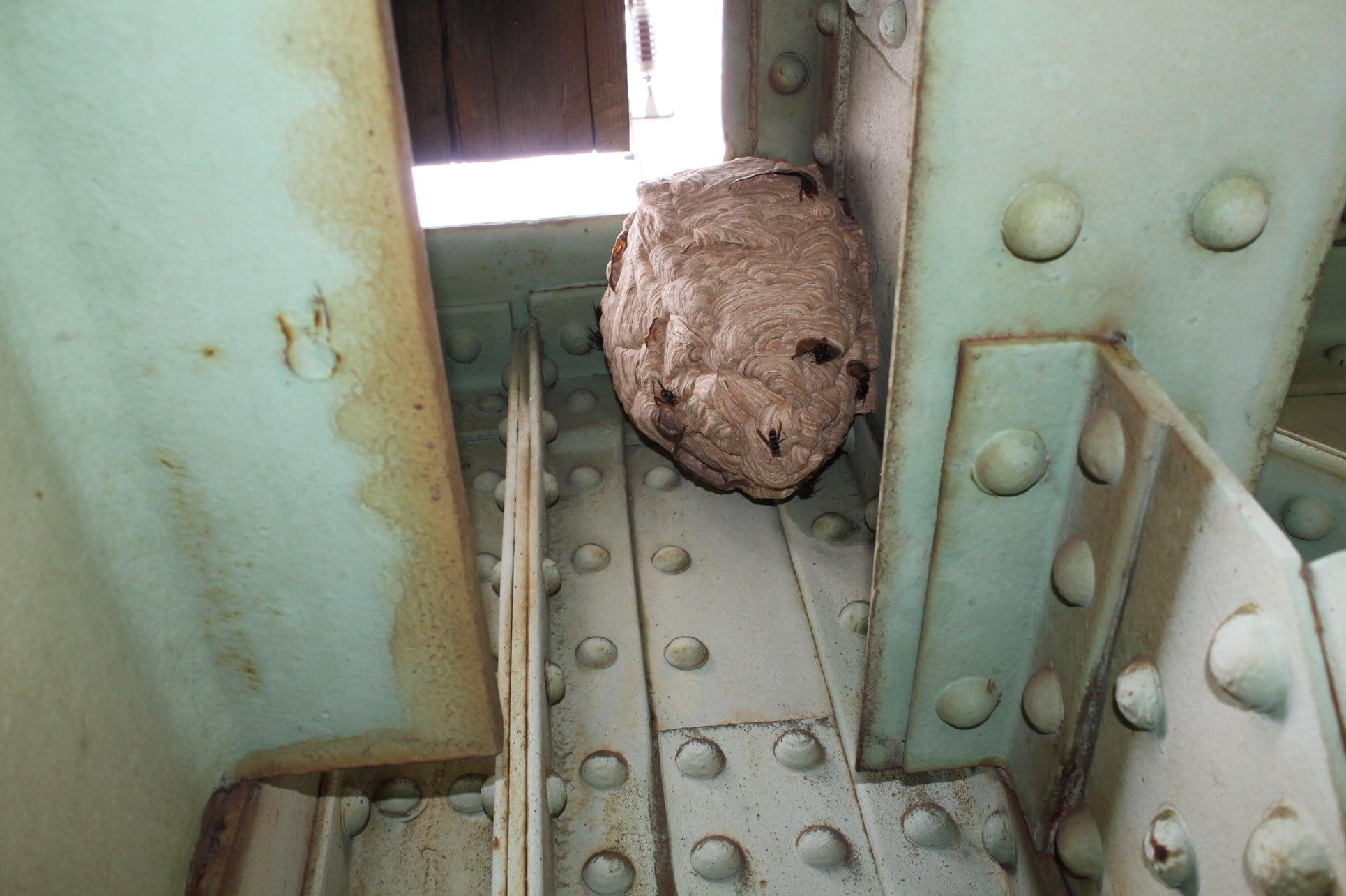 Ourém já destruiu 245 ninhos de vespa velutina/asiática