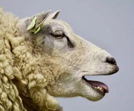 Criadores de ovinos e caprinos obrigados a declarar animais a partir de Janeiro