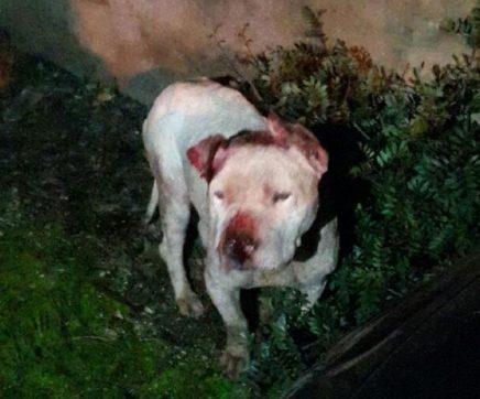 Pitbull fere mulher e mata três cães na Póvoa da Isenta