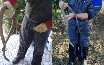GNR recolhe duas cobras em habitações e um peneireiro-cinzento ferido