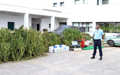 GNR apreende a maior plantação de canábis do País e uma das maiores da Europa em Almeirim