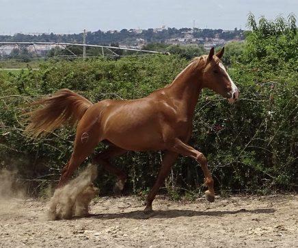 Associação quer tornar Coruche na Capital Internacional do Cavalo Luso-Árabe