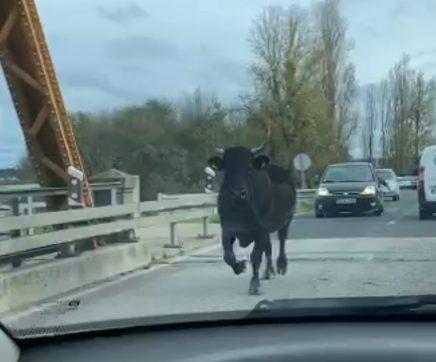 VÍDEO   Vaca foge do campo e surpreende condutores na EN 114